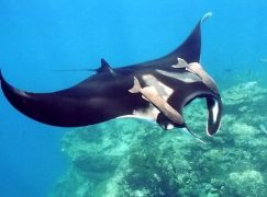 Swimming with Manta Rays in Fiji (Guest Post)