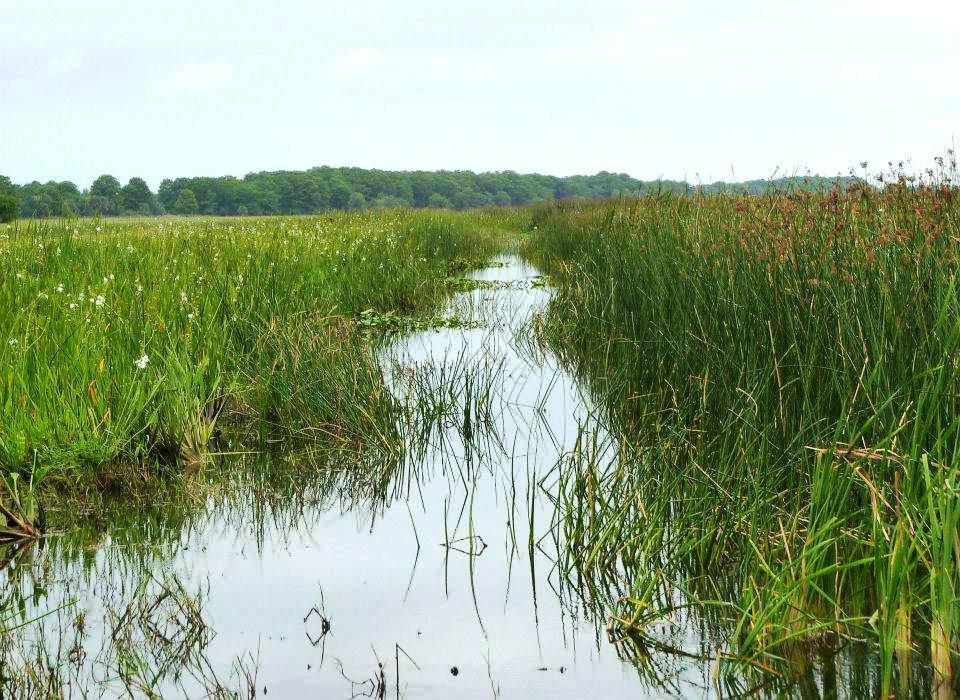 Wild Florida Reeds