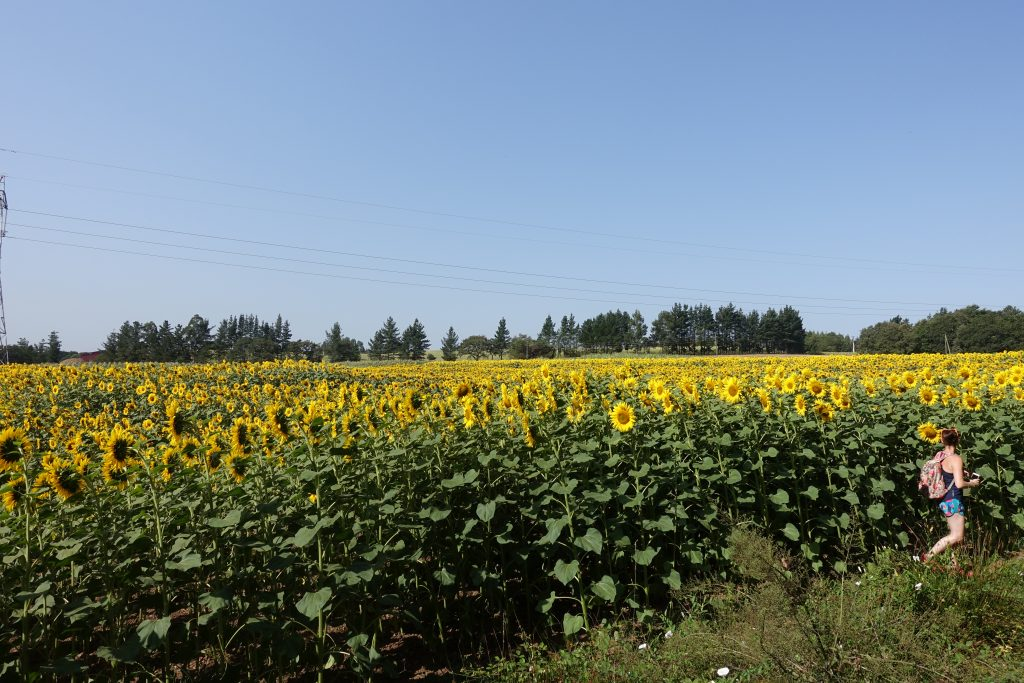 Sunflower Fields along the Camino de Santiago
