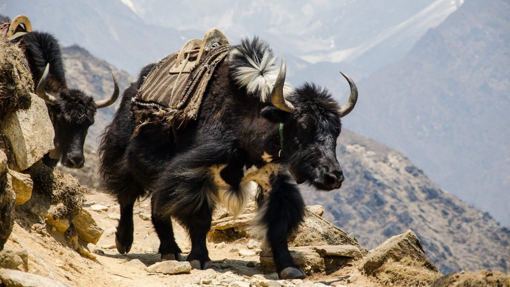 What wildlife you might see when trekking in Nepal